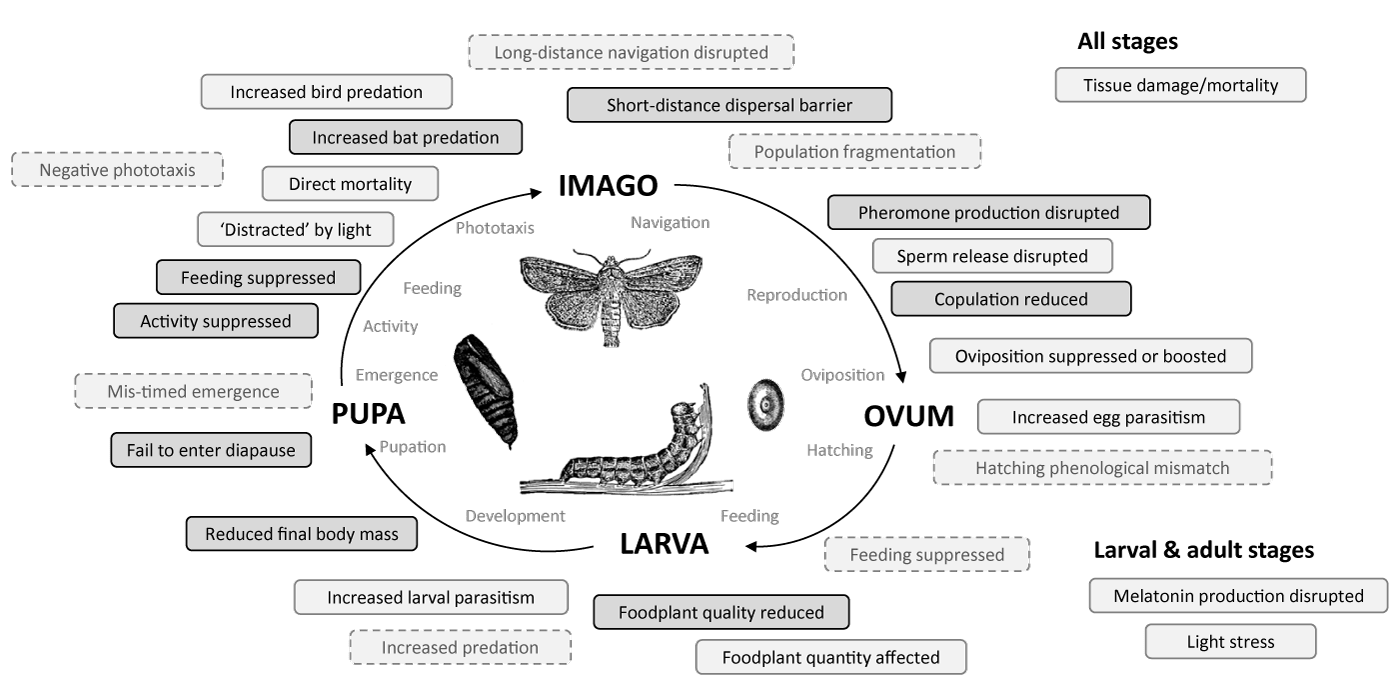 Life cycle effects of lighting on insects