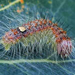 poplar grey caterpillar